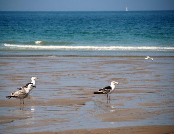 Goélands plage côte d'Opale